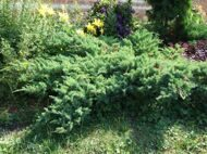 Можжевельник чешуйчатый 'Blue Swede' P26 40-50 CM / Juniperus squamata 'Blue Swede'