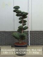 Можжевельник китайский 'Blue Alps' C130 150-175 CM / Juniperus chinensis 'Blue Alps'