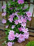 Клематис 'Dr Ruppel' WAVE P 14 65 CM 4 STK / Clematis 'Dr Ruppel'