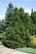 Ель обыкновенная 'Will's Zwerg' C20 120-140 CM / Picea abies 'Will's Zwerg'