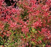 Барбарис тунберга 'Orange Dream' P26 30-40 CM / Berberis thunbergii 'Orange Dream'