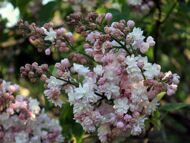 Сирень обыкновенная 'Beauty of Moscow' 150-175 CM RB / Syringa vulgaris 'Beauty of Moscow'
