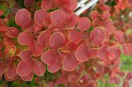Барбарис тунберга 'Golden Ring' cont 60-80 CM / Berberis thunbergii 'Golden Ring'