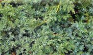 Можжевельник чешуйчатый 'Blue Swede' P19 30-40 CM / Juniperus squamata 'Blue Swede'