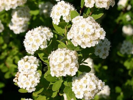 Спирея ниппонская 'Snowmound' P26 60-80 CM / Spiraea nipponica 'Snowmound'