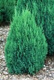 Можжевельник китайский 'Stricta' 80-100 CM RB  EXTRA / Juniperus chinensis 'Stricta'