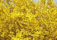 Форзиция промежуточная 'Week End' C 10 80-100 CM / Forsythia intermedia 'Week End'