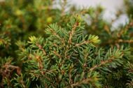 Ель обыкновенная 'Little Gem' P17 15-20 CM / Picea abies 'Little Gem'