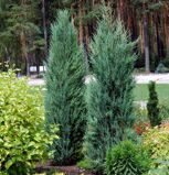 Можжевельник скальный 'Blue Arrow' P26 80-100 CM / Juniperus scopulorum 'Blue Arrow'