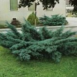 Можжевельник средний 'Pfitzeriana Glauca' C10 60/+ CM / Juniperus media 'Pfitzeriana Glauca'