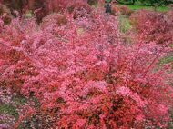 Барбарис тунберга 'Pink Queen' P19 30-40 CM / Berberis thunbergii 'Pink Queen'