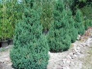 Можжевельник китайский 'Stricta' 100-125 CM RB EXTRA / Juniperus chinensis 'Stricta'