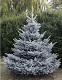 Ель колючая 'Blue Diamond' 175-200 CM DKL EXTR / Picea pungens 'Blue Diamond'