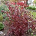 Пузыреплодник калинолистный 'Summer Wine'  100-125 CM RB / Physocarpus opulifolius 'Summer Wine'