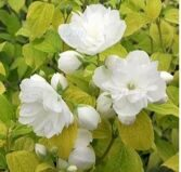Чубушник 'Yellow Hill' C4 50-60 CM / Philadelphus 'Yellow Hill'