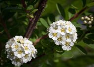 Спирея ниппонская 'Snowmound' C 4,5 50-60 CM / Spiraea nipponica 'Snowmound'