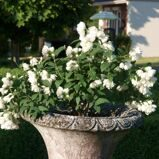 Чубушник 'Little White Love' P21 50-60 CM / Philadelphus 'Little White Love'