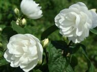 Чубушник 'Virginal' 60-100 CM RB / Philadelphus 'Virginal'