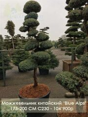 Можжевельник китайский 'Blue Alps' C230 175-200 CM / Juniperus chinensis 'Blue Alps'