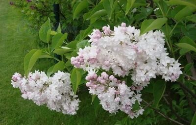 Сирень обыкновенная 'Beauty of Moscow' P23 50-70 CM / Syringa vulgaris 'Beauty of Moscow'