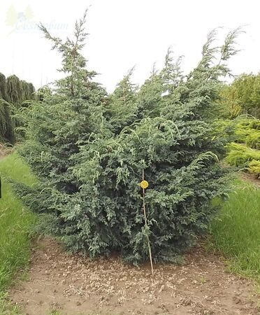Можжевельник китайский 'Blue Alps' C 45 225-250 СМ PL EXTR / Juniperus chinensis 'Blue Alps'