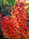 Барбарис тунберга 'Orange Rocket' P19 25-30 CM / Berberis thunbergii 'Orange Rocket'