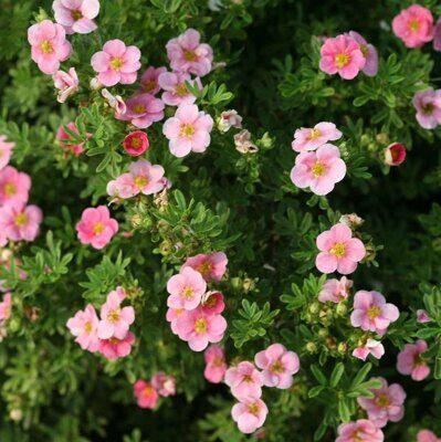 Лапчатка кустарниковая 'Lovely Pink' C 2,8 30-40 CM / Potentilla fruticosa 'Lovely Pink'