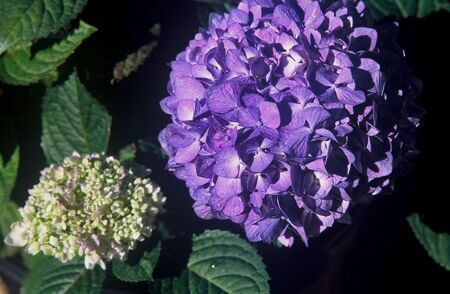 Гортензия крупнолистная Bloom Star *blau-lila* C 5 / Hydrangea macrophylla Bloom Star *blau-lila*