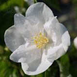 Чубушник 'White Rock' C 4,5 50-60 CM / Philadelphus 'White Rock'