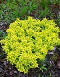 Барбарис тунберга 'Tiny Gold' P19 20-25 CM / Berberis thunbergii 'Tiny Gold'
