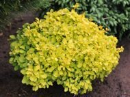 Барбарис тунберга 'Tiny Gold' C 10 40-50 CM/ Berberis thunbergii 'Tiny Gold'