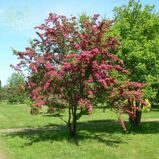 Боярышник средний 'Paul's Scarlet' 250-300 CM WRB / Crataegus media 'Paul's Scarlet'