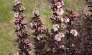 Пузыреплодник калинолистный 'Little Devil' C4 40-50 CM / Physocarpus opulifolius 'Little Devil' C4 40-50 CM