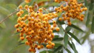 Рябина обыкновенная 'Golden Wonder' 8-10 CM / Sorbus aucuparia 'Golden Wonder'