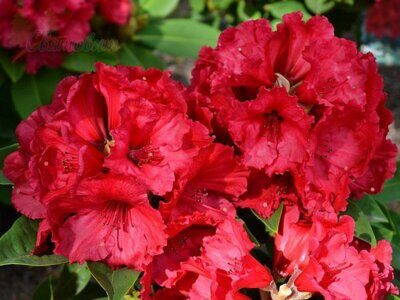 Рододендрон 'Red Jack' P26 40-50 CM / Rhododendron 'Red Jack'