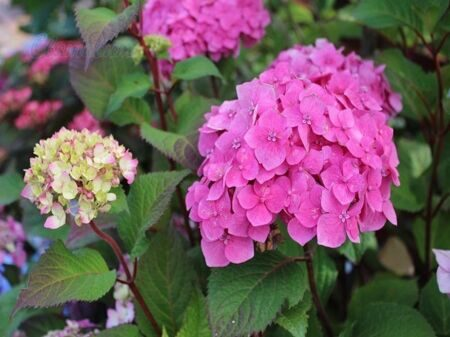Гортензия крупнолистная Bloom Star *pink-rosa* C 5 / Hydrangea macrophylla Bloom Star *pink-rosa*