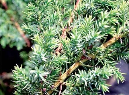 Можжевельник китайский 'Blue Alps' C25 100-125 СМ PLATEAU / Juniperus chinensis 'Blue Alps'