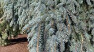 Ель колючая 'The Blues' C 35 100-125 CM / Picea pungens 'The Blues'