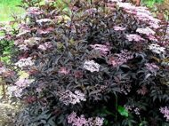 Бузина черная 'Black Beauty' C 6 50-60 CM / Sambucus nigra 'Black Beauty'