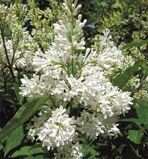 Сирень престон 'Agnes Smith' P23 30-50 CM / Syringa prestoniae 'Agnes Smith'
