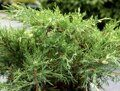 Можжевельник средний 'White Splash' P 18 20-25 CM / Juniperus media 'White Splash'