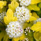Пузыреплодник калинолистный 'Angel's Gold' cont 40-50 CM / Physocarpus opulifolius 'Angel's Gold' cont 40-50 CM