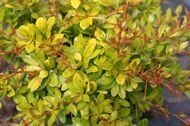 Барбарис тунберга 'Golden Dream' P19 25-30 CM / Berberis thunbergii 'Golden Dream'