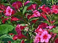 Вейгела цветущая 'Red Prince' P23 50-60 CM / Weigela florida 'Red Prince'