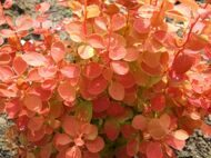 Барбарис тунберга 'Orange Ice' P19 30-40 CM / Berberis thunbergii 'Orange Ice'