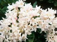 Рододендрон 'Cunningham's White' 50-60 CM RB / Rhododendron 'Cunningham's White'