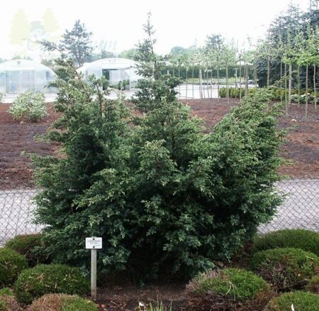 Можжевельник китайский 'Blue Alps' C12 60-80 CM / Juniperus chinensis 'Blue Alps'