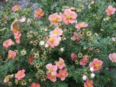 Лапчатка кустарниковая 'Pretty Polly' P 10,5 15-20 CM / Potentilla fruticosa 'Pretty Polly'